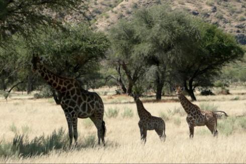 Giraffen, giraffe, Ausflug Windhoek Okapuka
