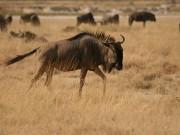 Gnu, wildebeest, antelope, Okapuka