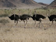 Strauß, Strausse, Ostrich,Safari Okapuka