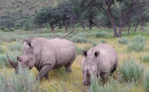 Internship, Namibia, Africa, Rhinos, Safari