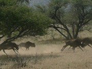 Wildebeest Waterberg, Namibia, Safari, Internship