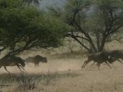 Wildebeest Waterberg, Namibia, Safari, Internship