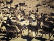 Zebras, Waterhole, Safari, Etosha Nationalpark, Internship Namibia, Africa