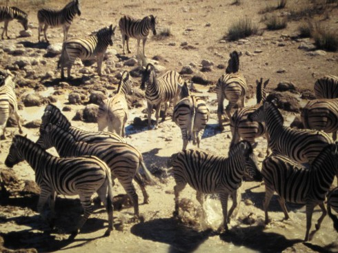 Zebras, Waterhole, Safari, Etosha Nationalpark, Internship Namibia, Africa